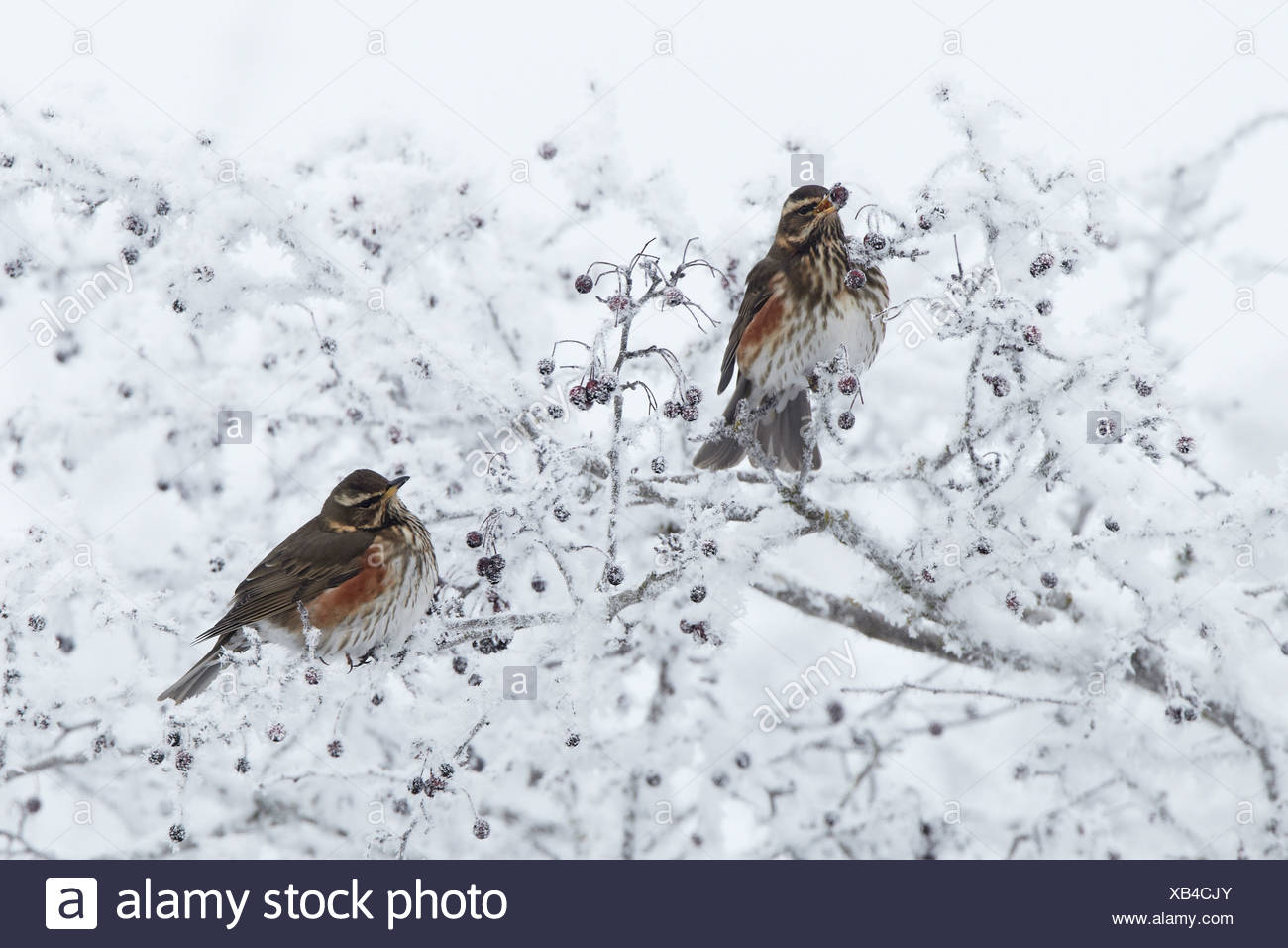 Redwing (Turdus iliacus) two adults, feeding on hawthorn berries in hoar fost covered hedgerow, Shropshire, England, winter Stock Photo