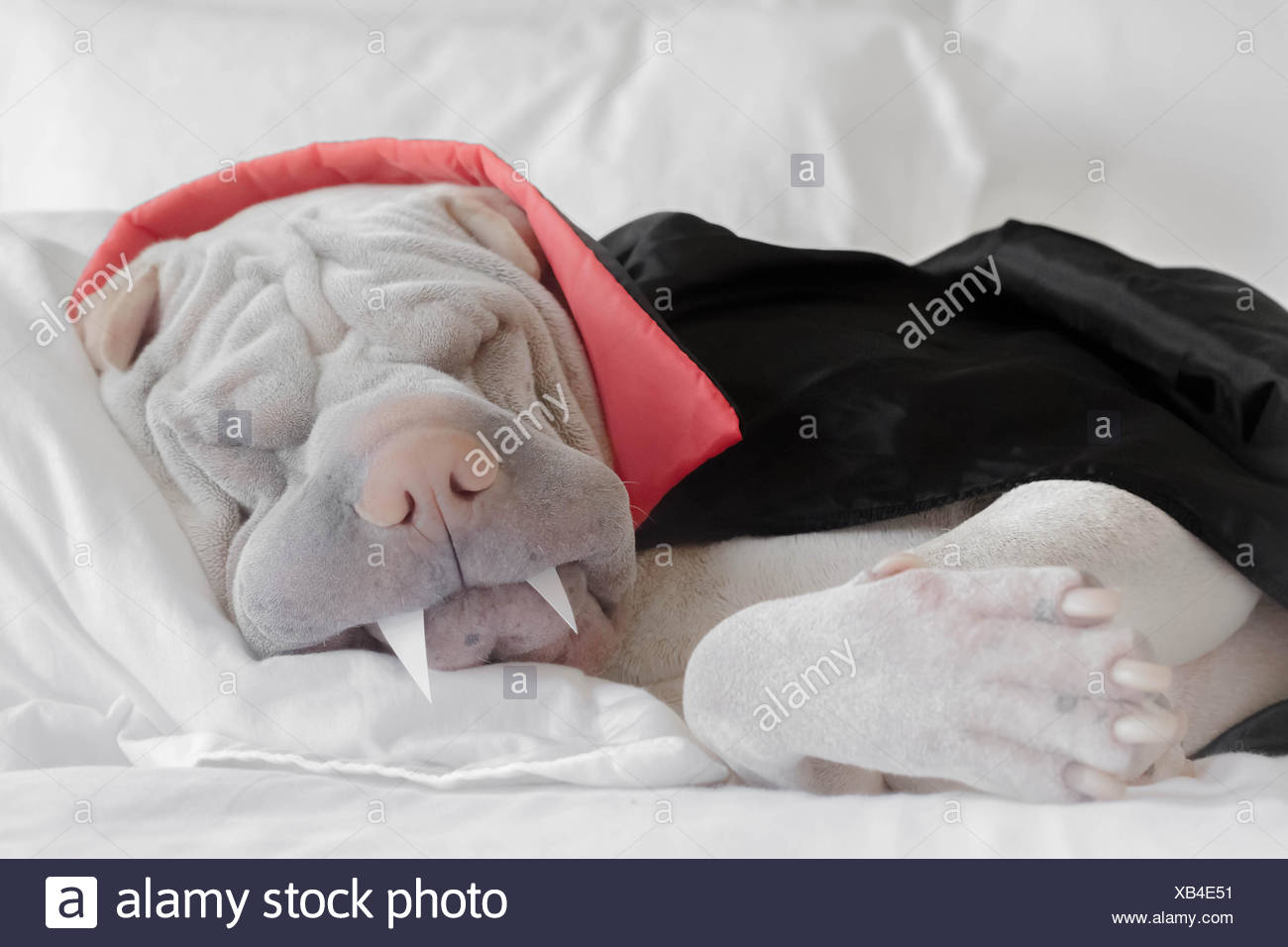 Shar pei dog dressed as a vampire sleeping - Stock Image