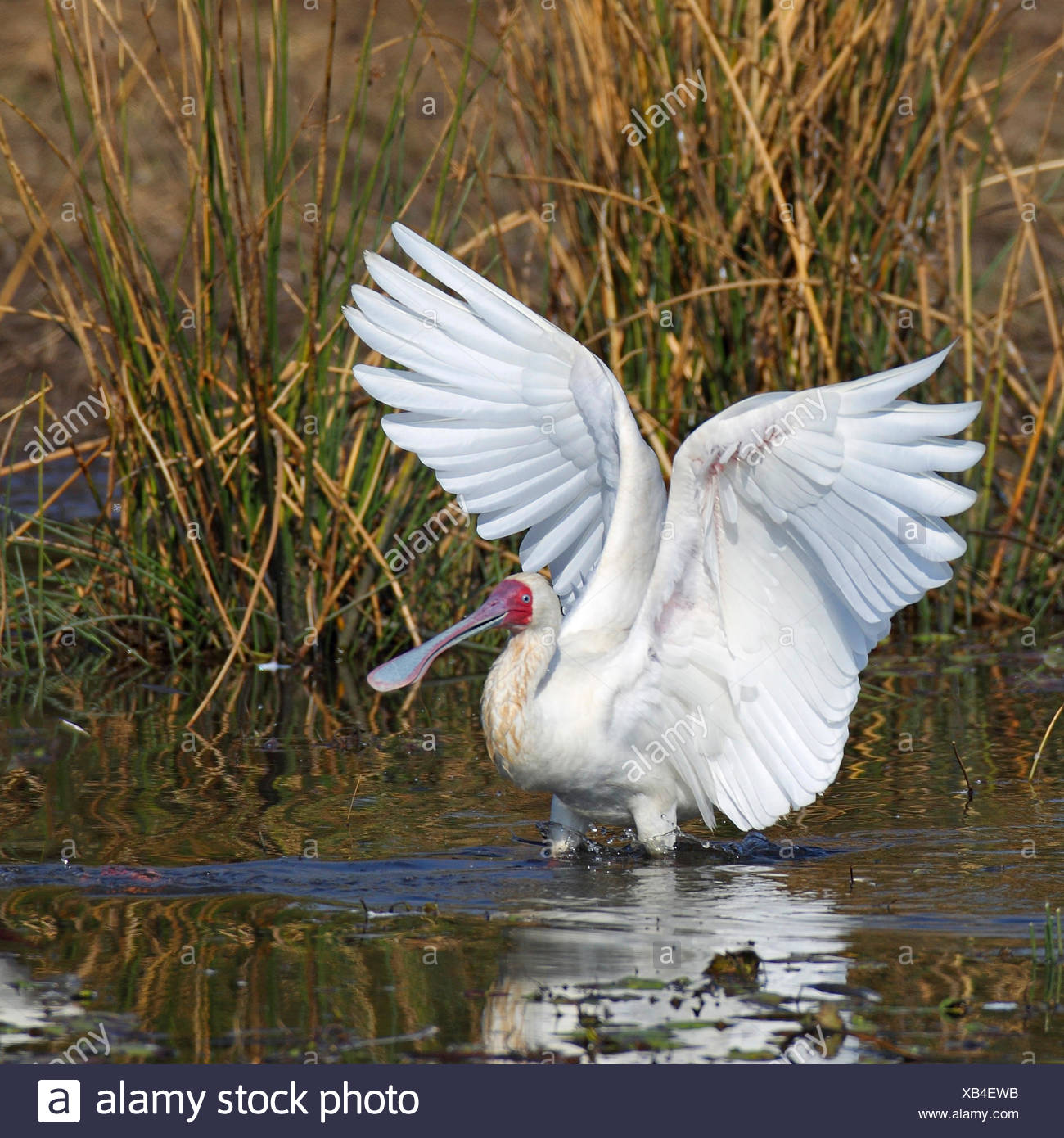 African spoonbill (Platalea alba), looking for food in shallow water, South Africa, Pilanesberg National Park - Stock Image