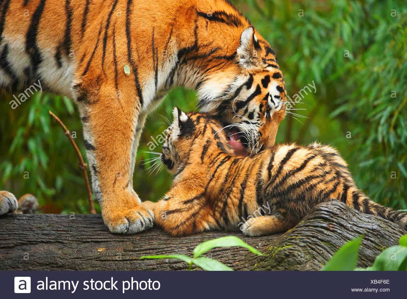 Siberian tiger, Amurian tiger (Panthera tigris altaica), tigress grooming her cub Stock Photo