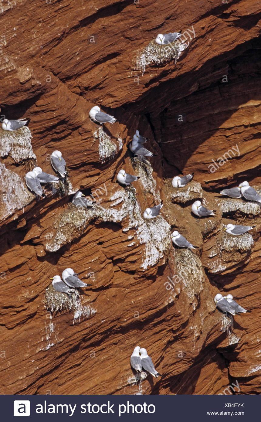 Black-legged Kittiwakes at the bird rock Stock Photo