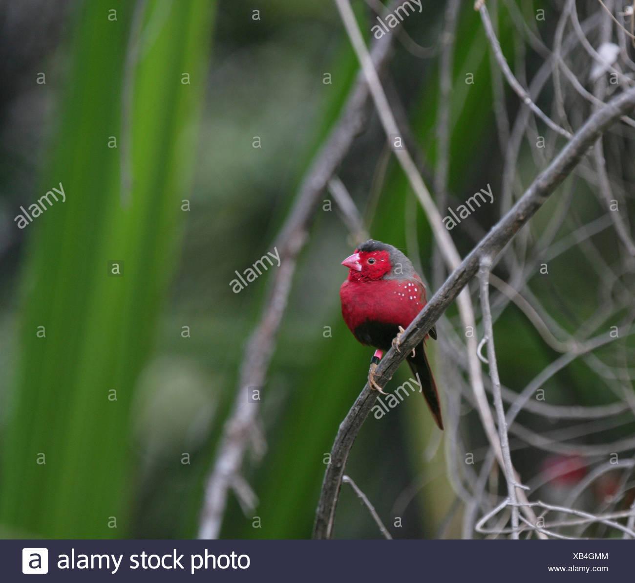 Crimson finch, Kimberley region, Western Australia - Stock Image
