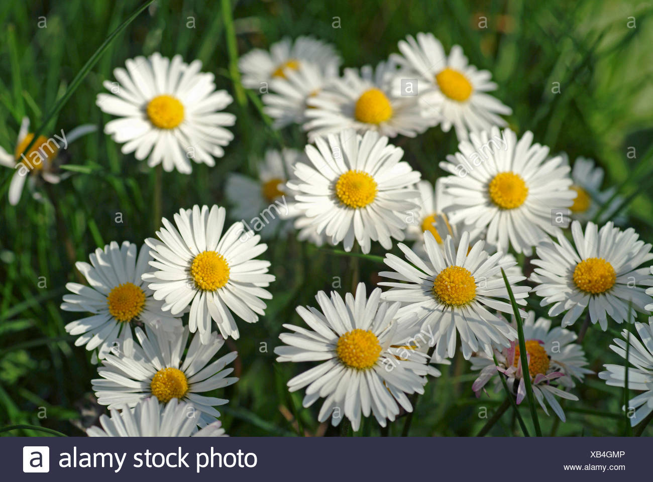common daisy, lawn daisy, English daisy (Bellis perennis), blooming, Germany - Stock Image
