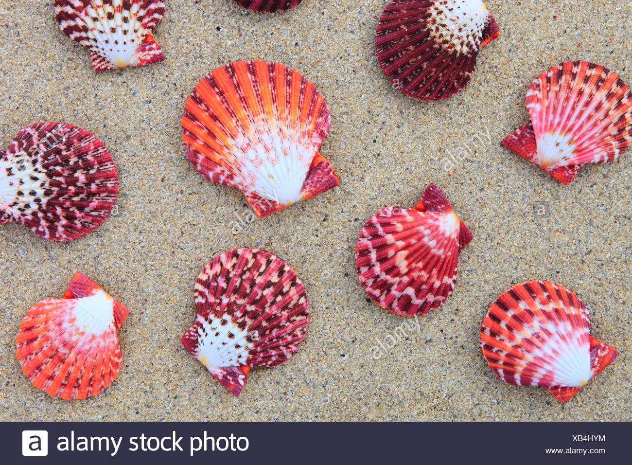 Great Britain, coast, sea, marine animal, mussels, mollusc, nature, North Sea, Pecten pallium, sand, sand beach, shellfish, Scot - Stock Image