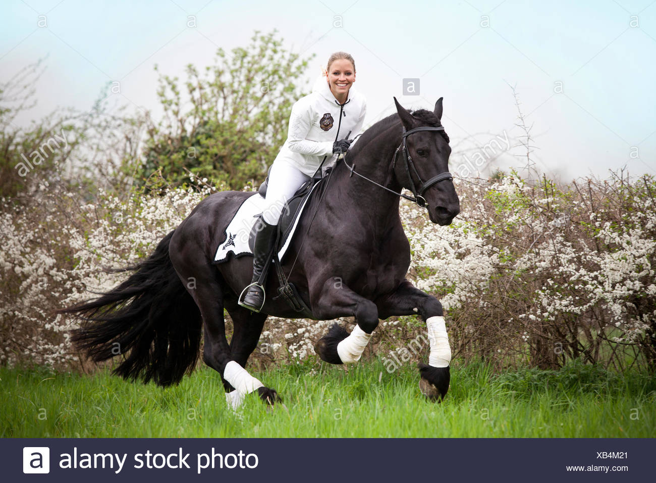 Friesian or Frisian horse, stallion, female rider cantering - Stock Image