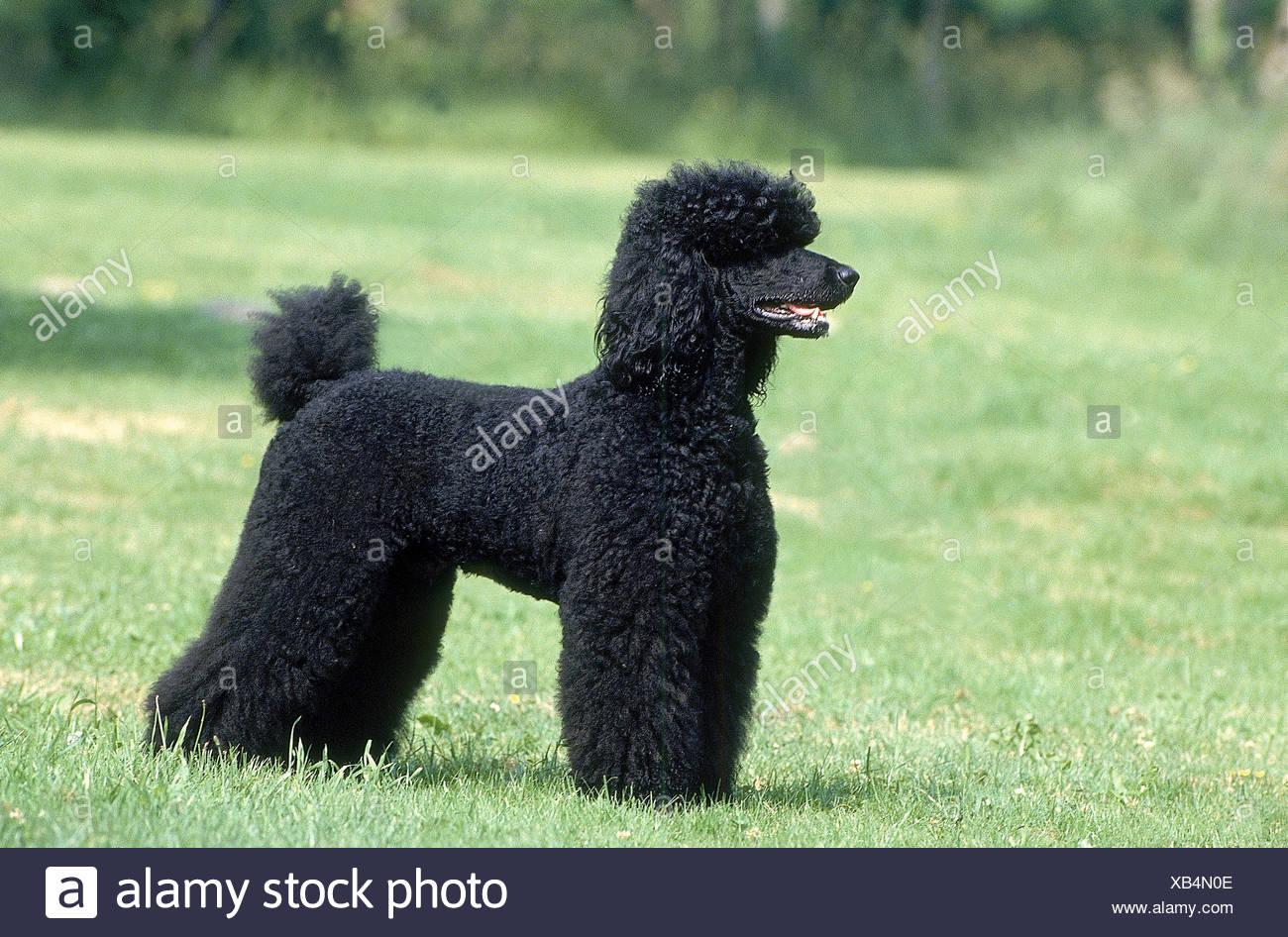 BLACK GIANT POODLE, ADULT STANDING ON GRASS - Stock Image