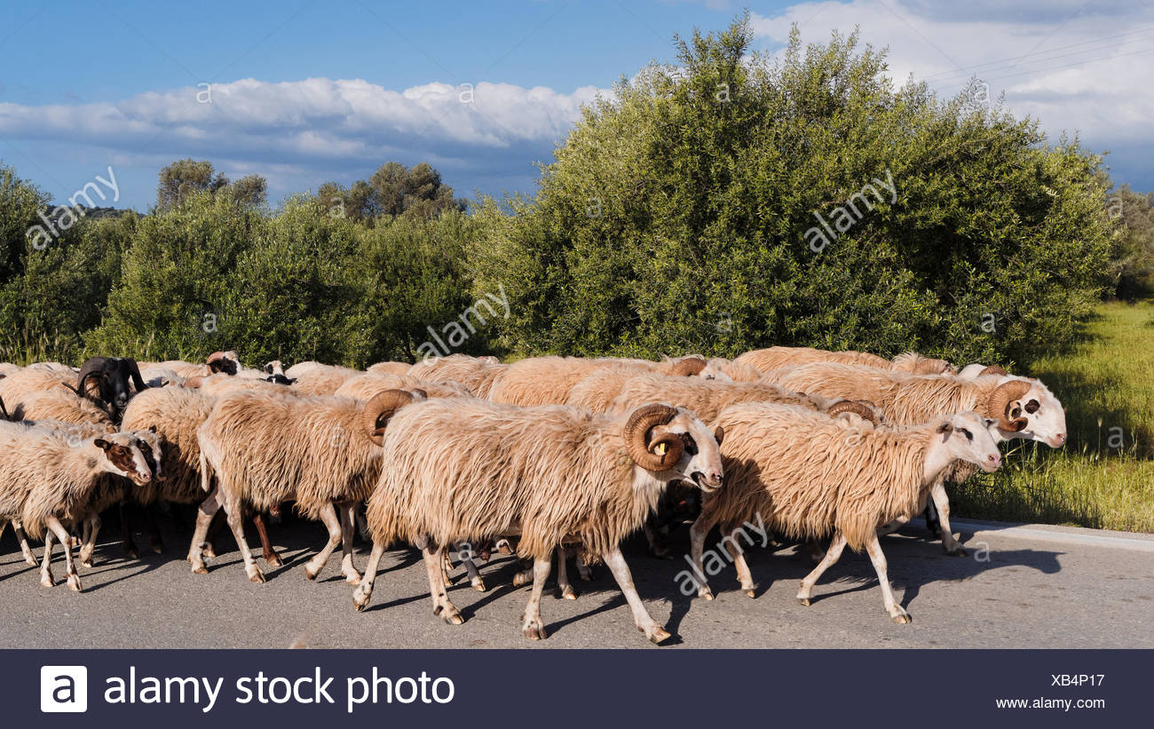 Fur, herbivore, Greece, Europe, domestic animal, pet, herd, Crete, benefit animal, mammal, sheep, flock of sheep, wool - Stock Image