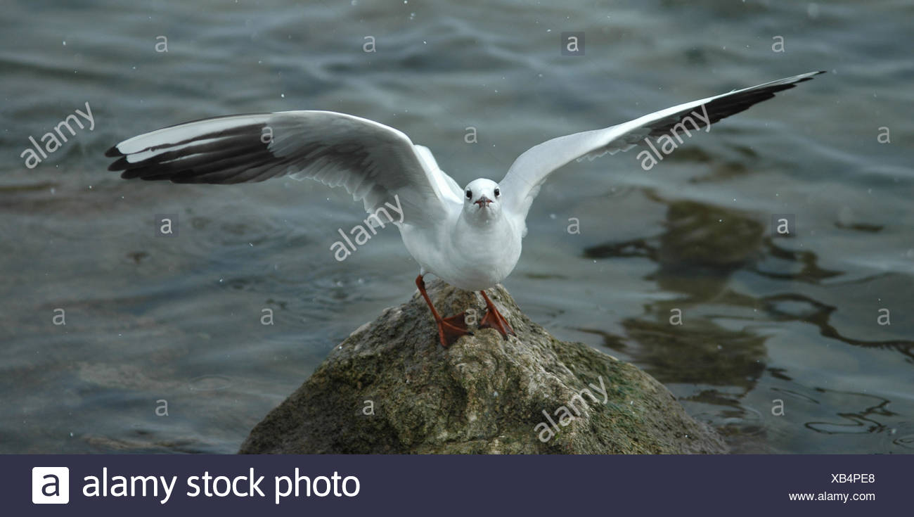 winter,switzerland,pigeon,fly,flies,flys,flying,mve,bielersee - Stock Image