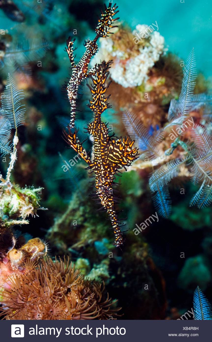 Ornate ghostpipefish Solenostomus paradoxus male and female  Rinca, Komodo National Park, Indonesia - Stock Image