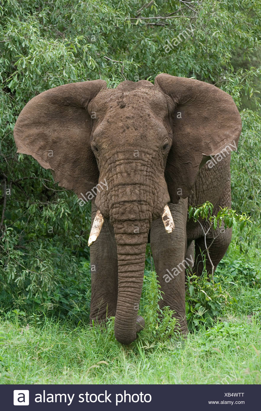 Front View Of A Male Elephant Ears Flapping In The Bush At Lake