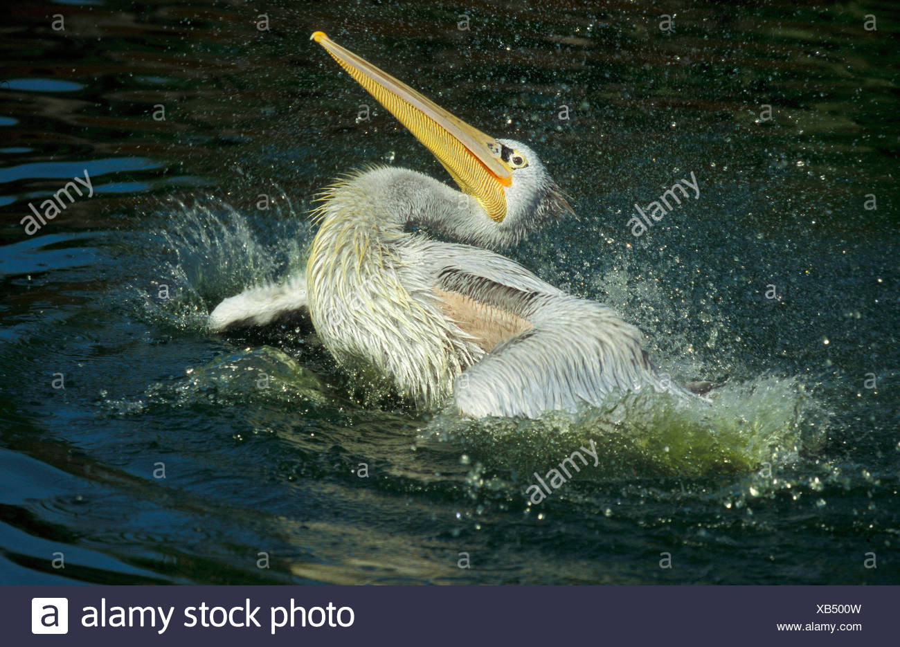 pelican bather water africa love of life cleanliness beak feathering egypt - Stock Image