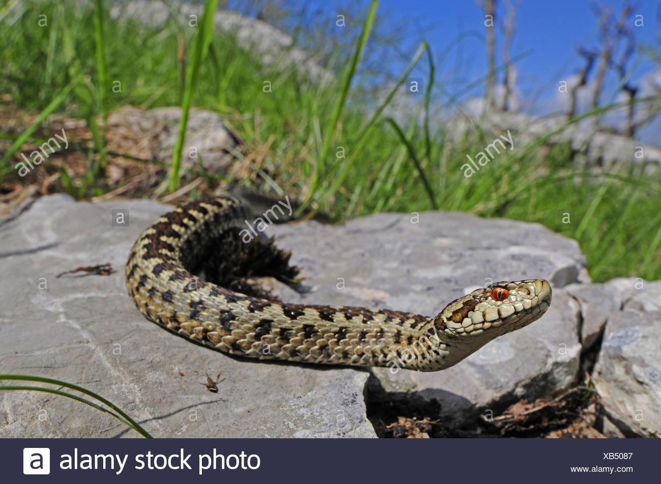 meadow viper, Orsini's viper (Vipera ursinii, Vipera ursinii