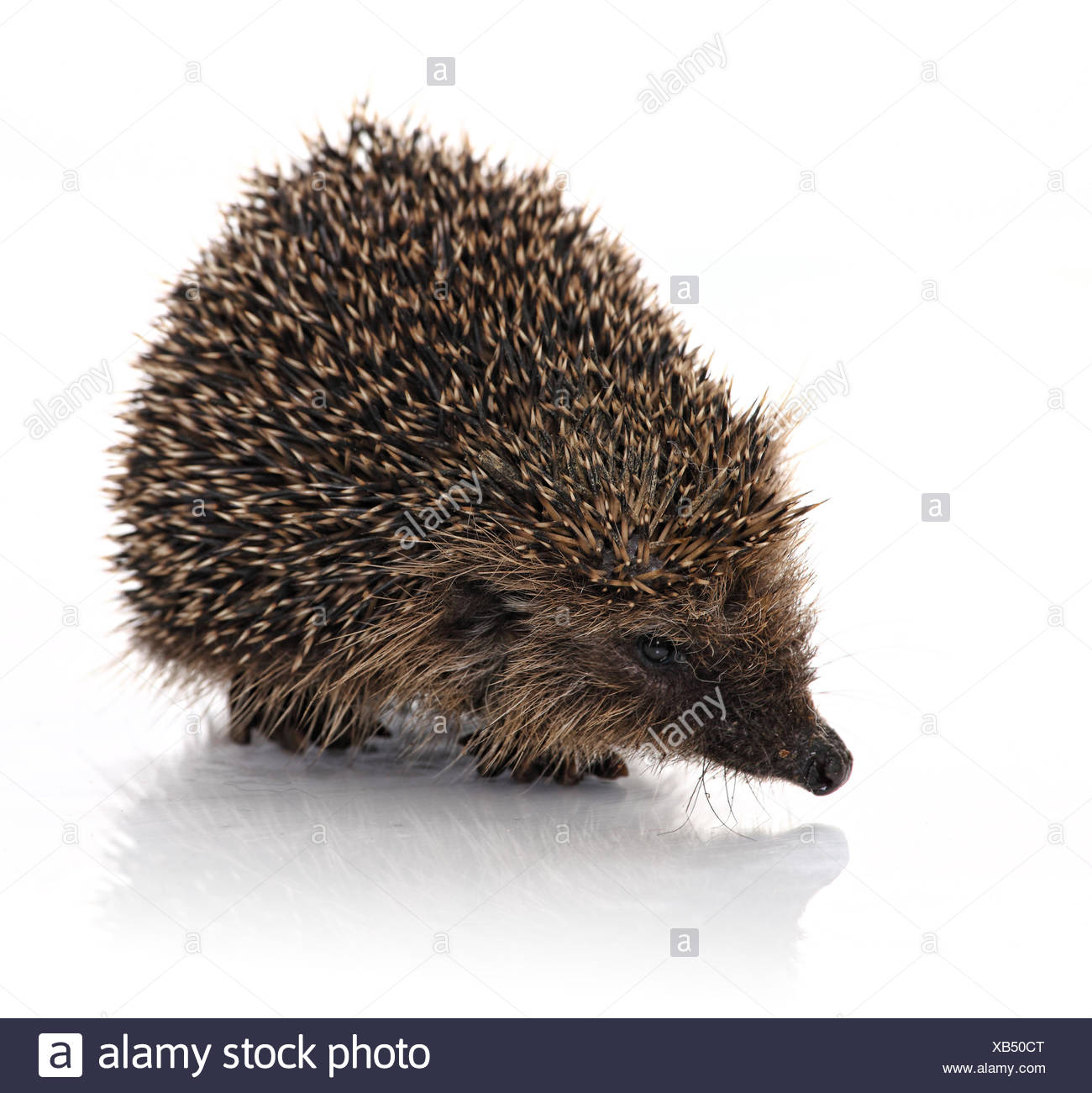 hodgehog portrait - Stock Image