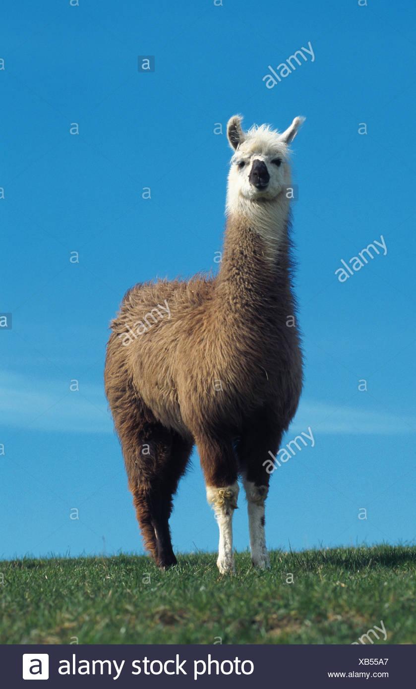 llama (Lama glama) - Stock Image