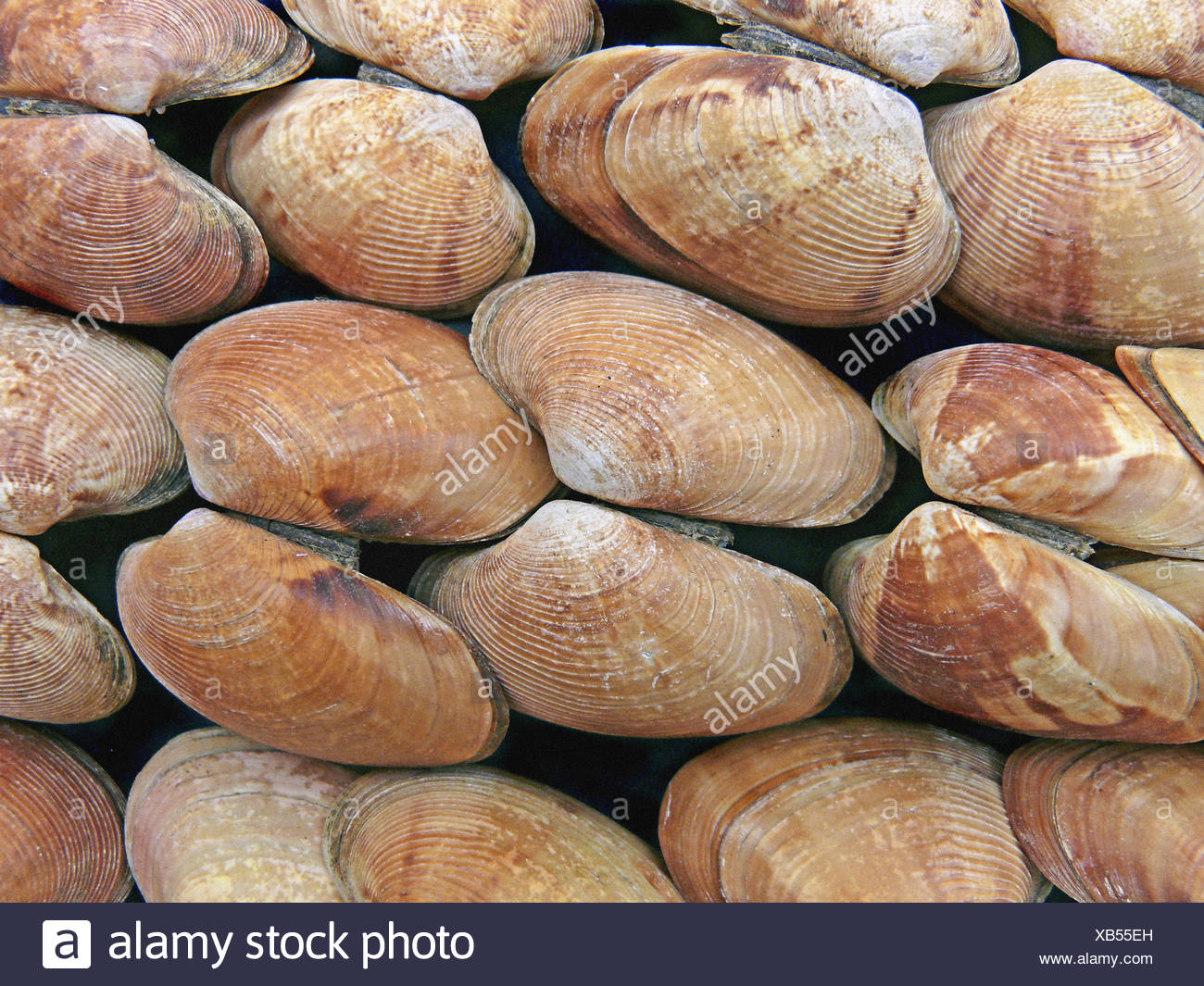 Clams, Class: Bivalvia, Representative mollusks. Bivalves have a shell with two halves. Filter feeders, they take in food and Stock Photo
