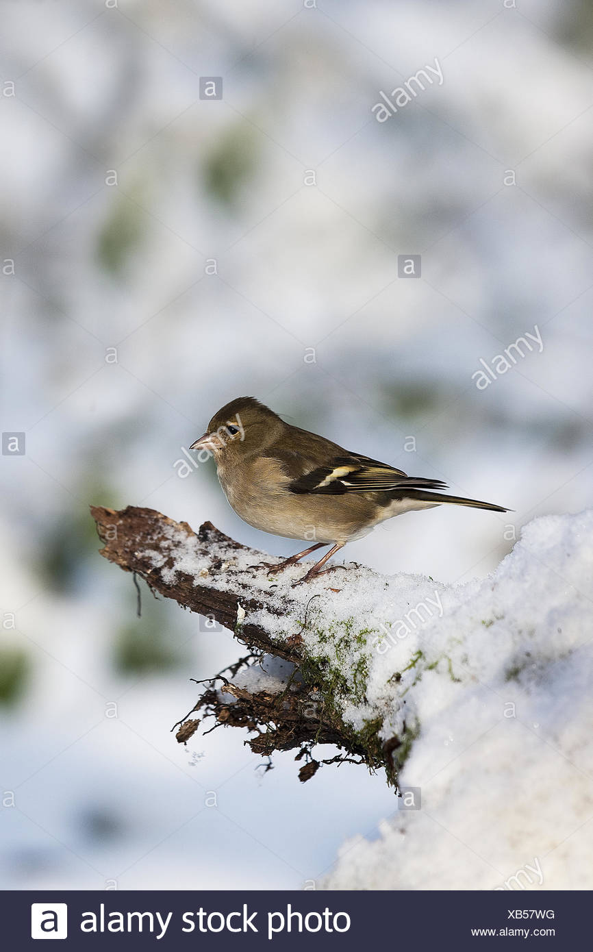Common Chaffinch, fringilla coelebs, Female in Snow, Normandy - Stock Image