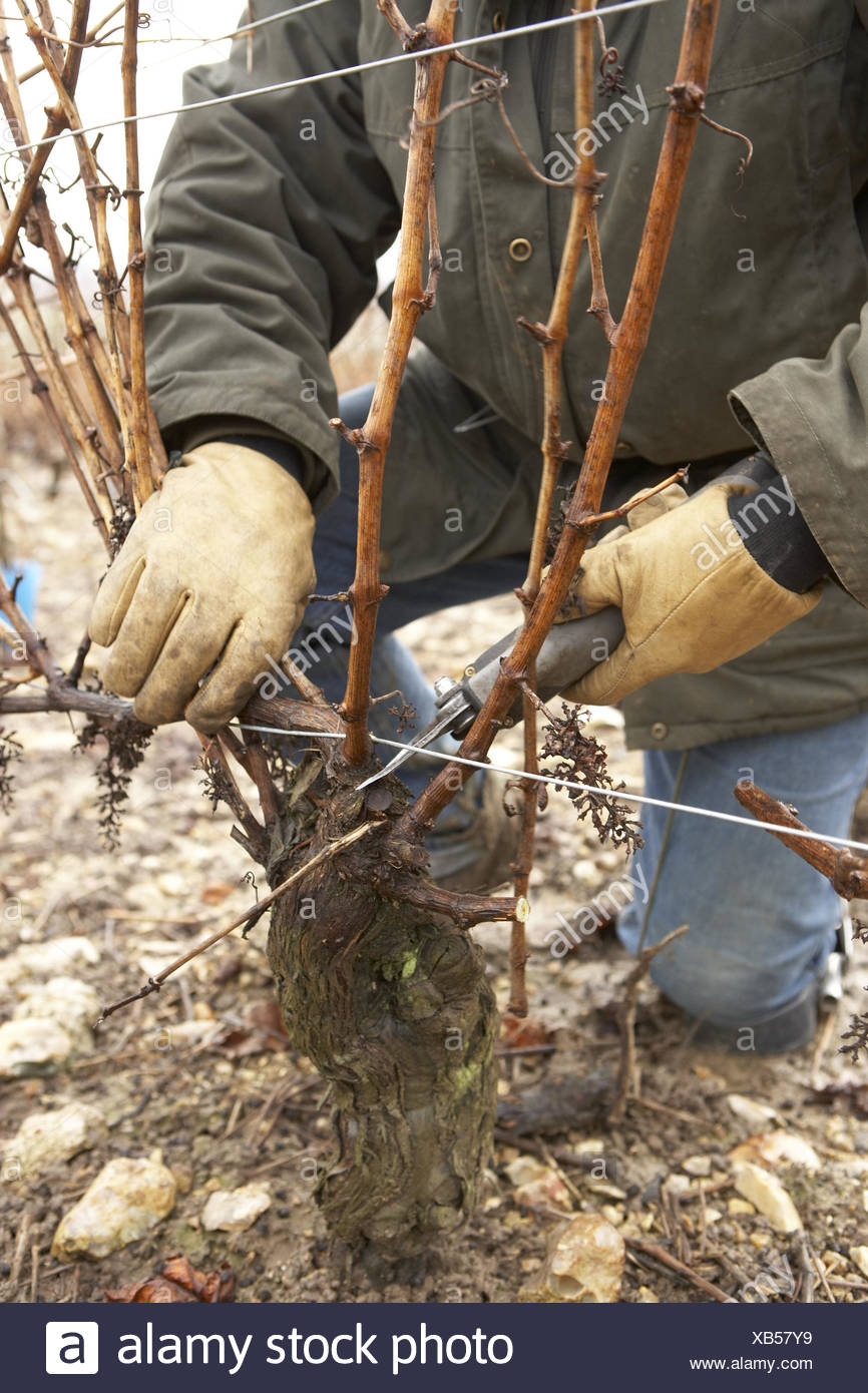 Man, squat, detail, electric scissors, vine, cutting, Sancerre, France, scissors, electrically, winegrower, viticulturist, jacket, gloves, work, occupation, agriculture, wine-growing, Rebschnitt, person, outside, plant, branches, truncate, cut to size, Stock Photo