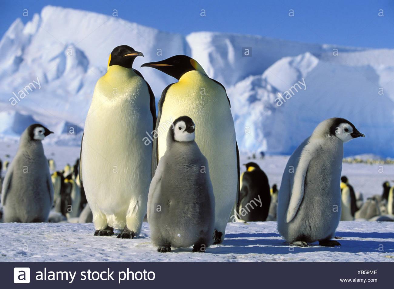 Emperor penguin (Aptenodytes forsteri), Emperor Penguins with chicks, Antarctica - Stock Image