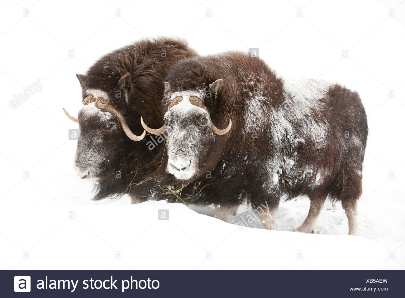 CAPTIVE: Three female Musk Ox stand in deep snow during a winter storm, Alaska Wildlife Conservation Center, Southcentral Alaska - Stock Image