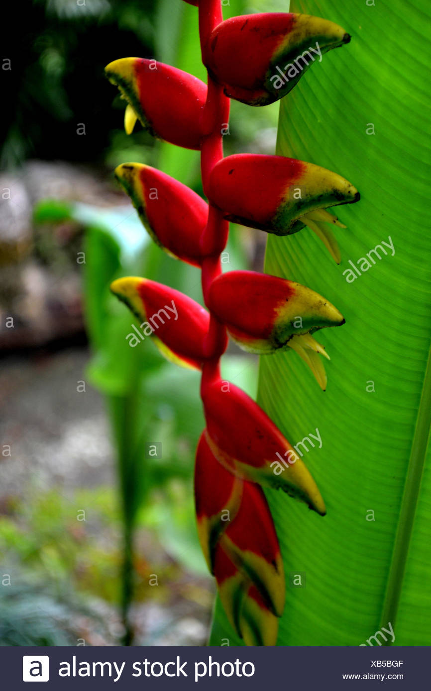 Close-Up Of Heliconia Growing On Field - Stock Image