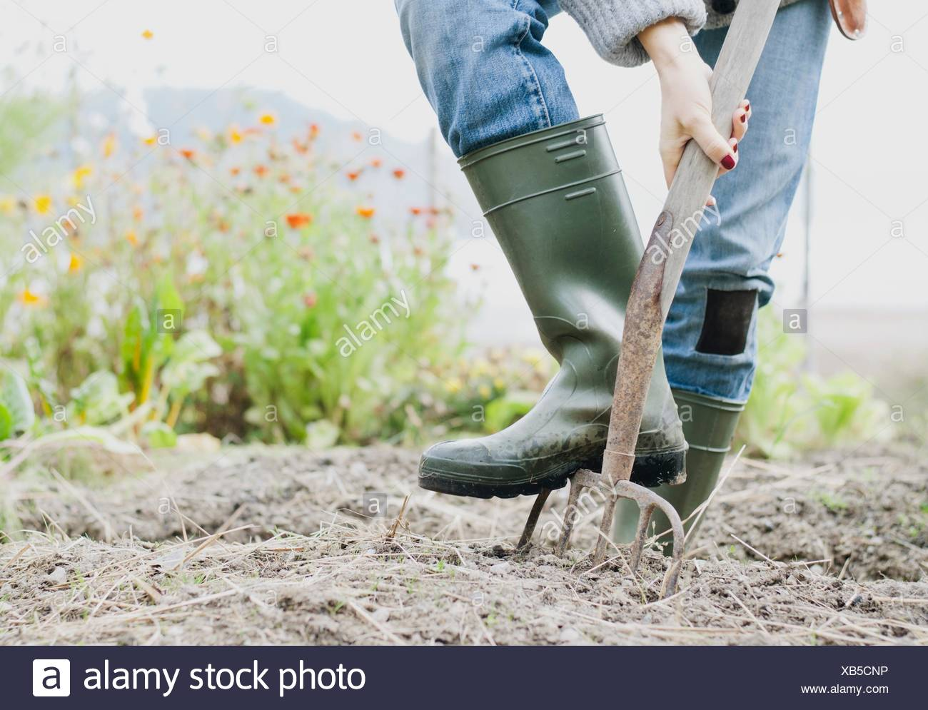 Cropped shot of woman wearing rubber boots digging organic garden with fork - Stock Image