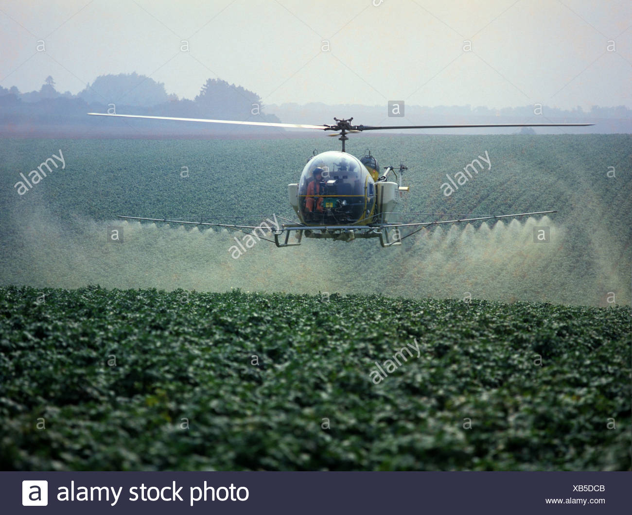 Helicopter spraying maturing potato crop with nutrients and a fungicide, Hampshire - Stock Image
