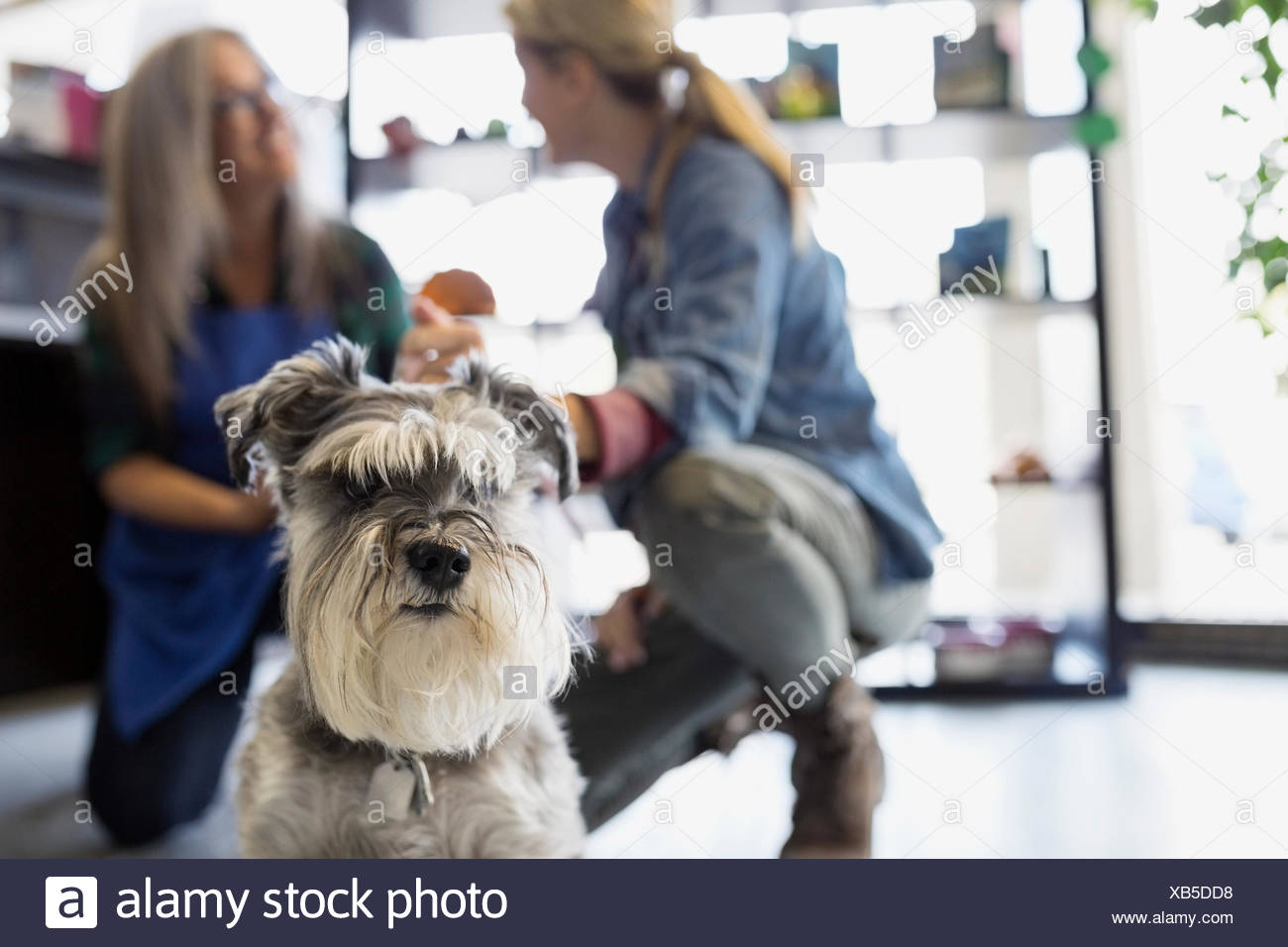 Woman and dog daycare owner talking behind schnauzer - Stock Image