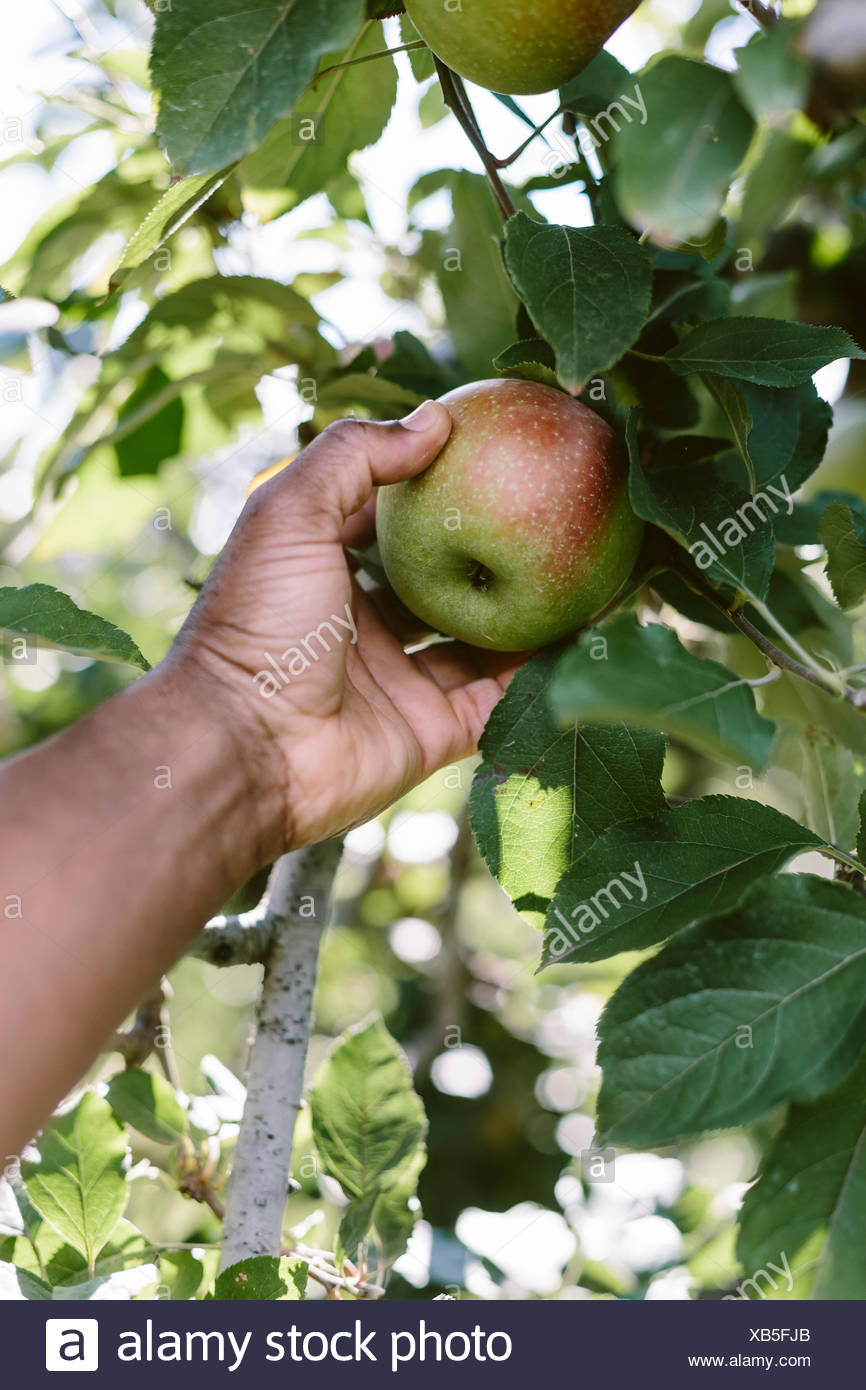 A man is photographed as he is picking a Fuji apple from the tree. - Stock Image