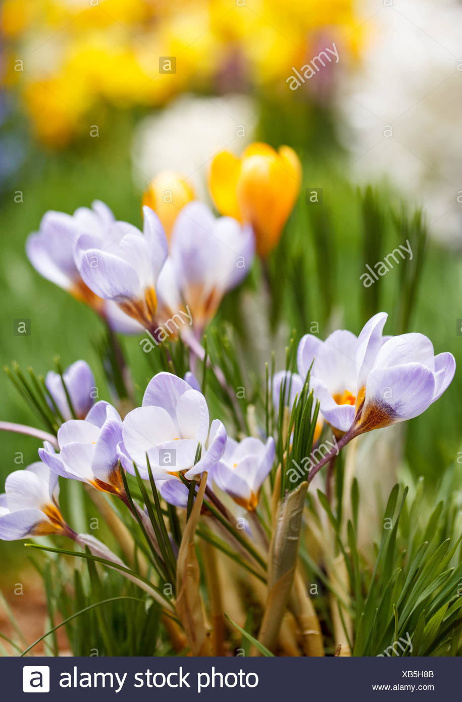 Crocus flowers - Stock Image