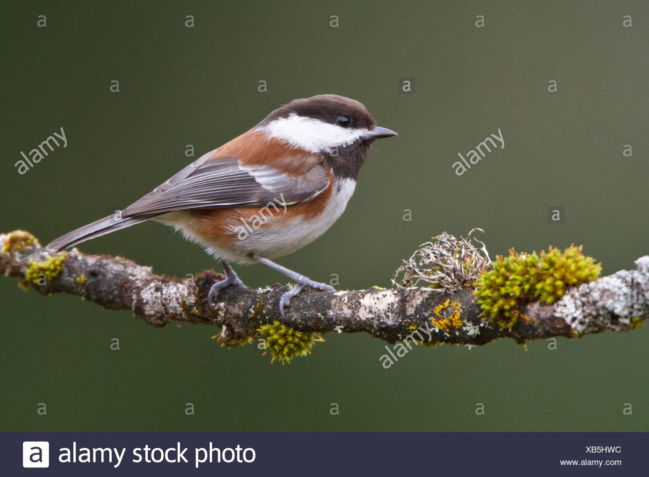 Chestnut-backed Chickadee (Poecile rufescens) perched on a branch in Victoria, BC, Canada. - Stock Image