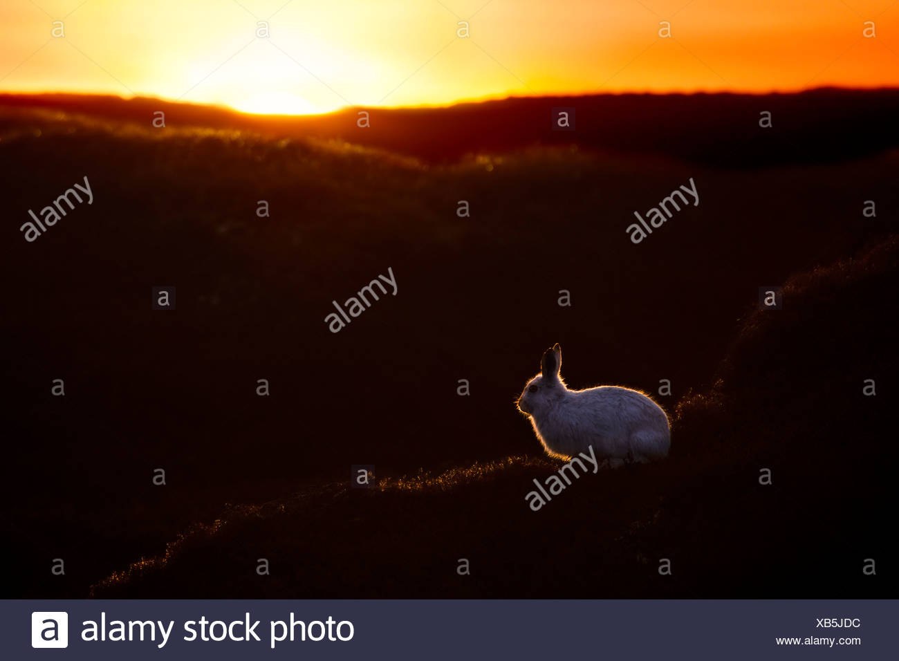Mountain Hare at sunset with white coat that it develops during winter. Kinder Scout, Peak District National Park, Derbyshire - Stock Image