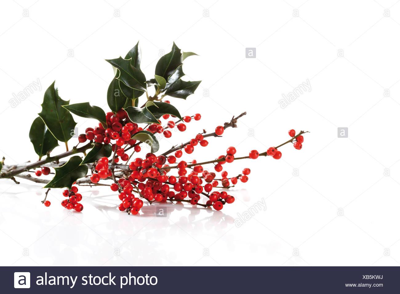 Holly (Ilex) with fruit - Stock Image