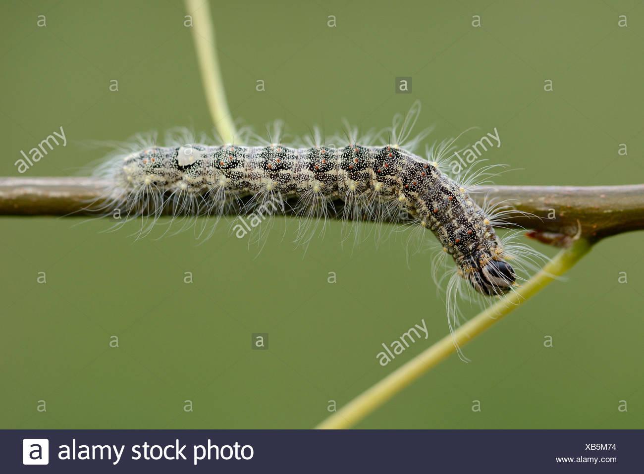 Caterpillar of Poplar Grey, Acronicta megacephala, on a twig - Stock Image