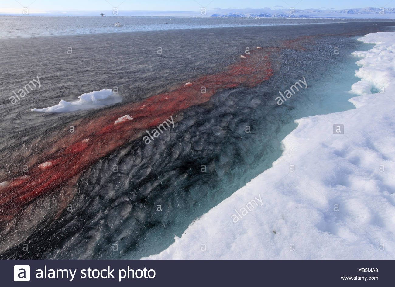 North America, Canada, Nordkanada, Nunavut, Baffin Iceland, Eclipse sound, Pond Inlet, Inuit, whale hunt, hunter, narwhal, disassemble, water, trail of blood, - Stock Image