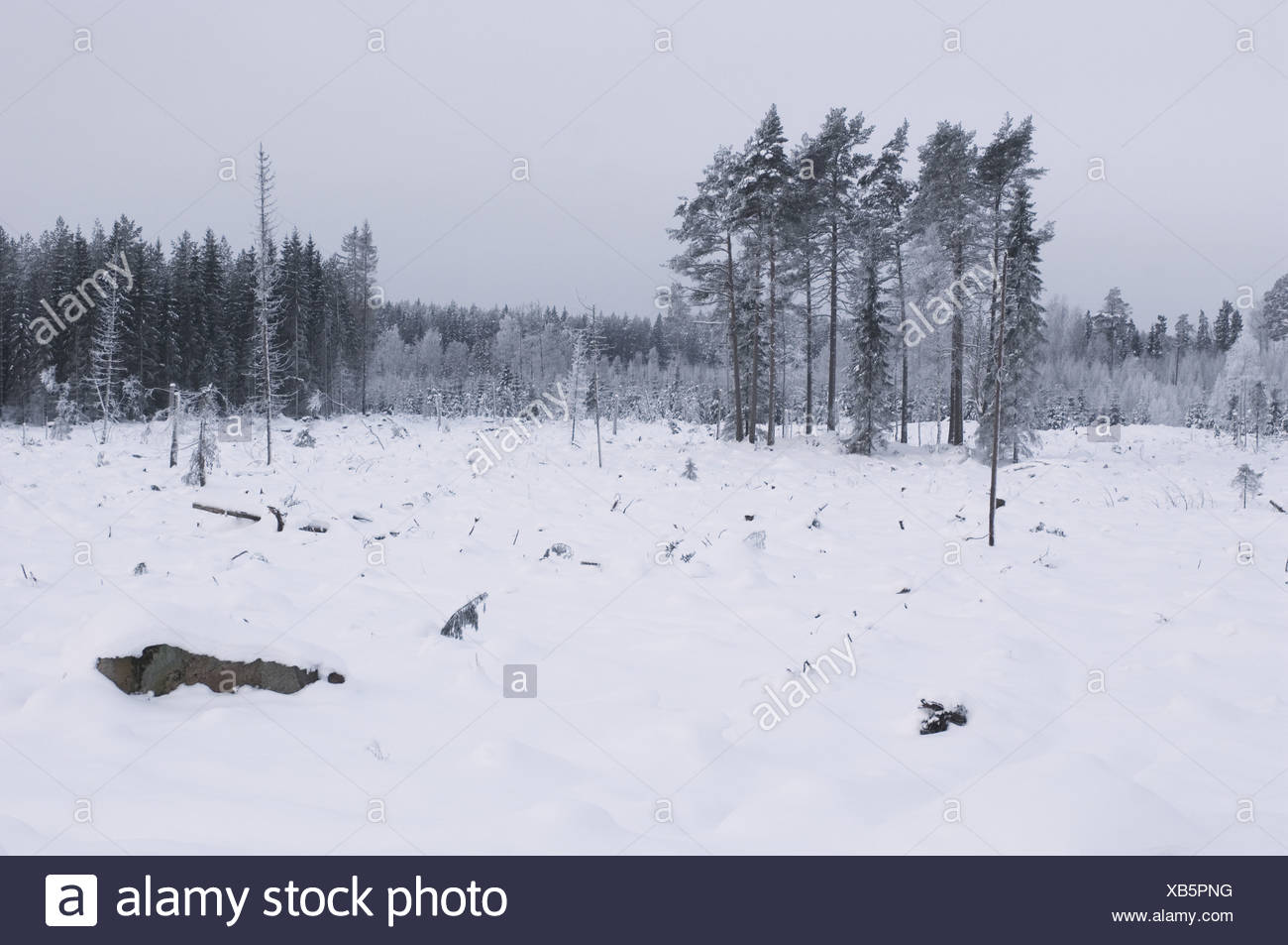 Felled and cleared coniferous forest in snow, Uppsala, Sweden, winter - Stock Image