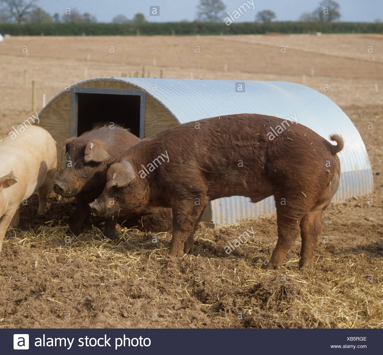 Two duroc boars outside ark on outdoor pig unit in Devon - Stock Image
