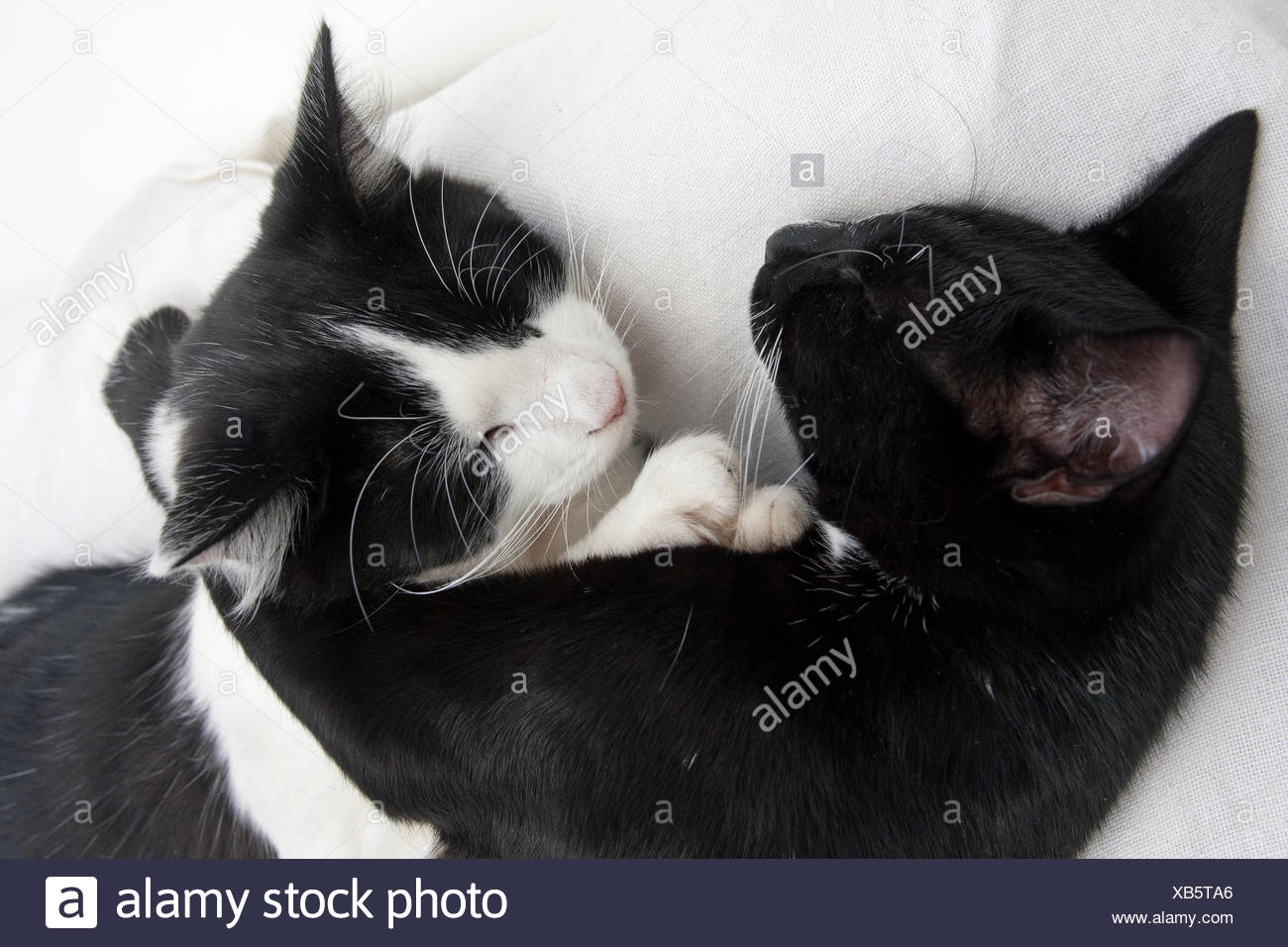 two kittens curled up together asleep - Stock Image