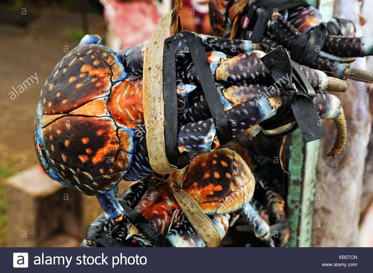 Coconut crabs tied up at a market stall, Papeete, Tahiti, Society Islands, French Polynesia, Pacific Ocean - Stock Image