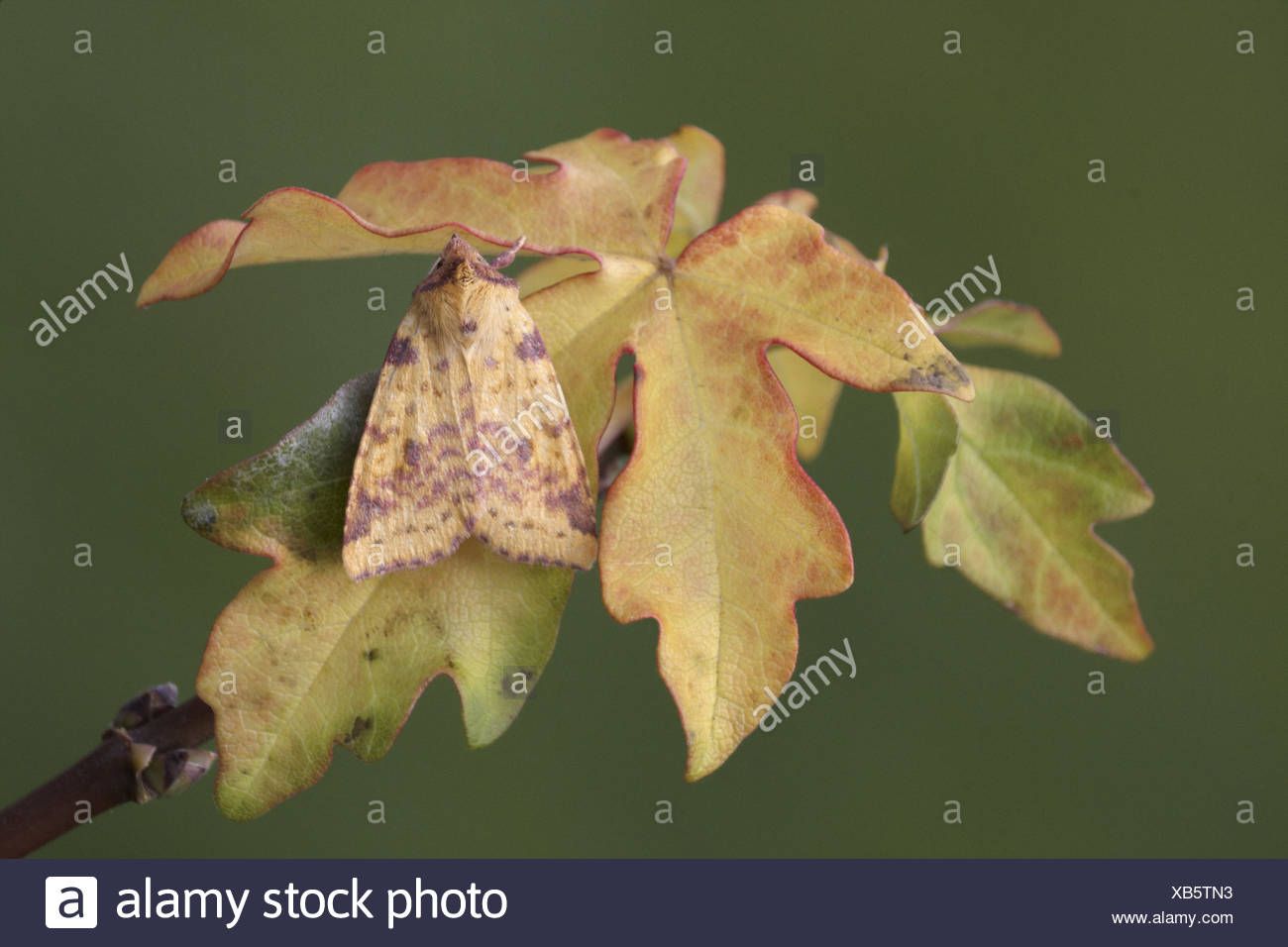 Pink-barred Sallow Moth (Xanthia togata) adult, resting on Silver Maple (Acer saccharinum) autumn coloured leaves, England, - Stock Image