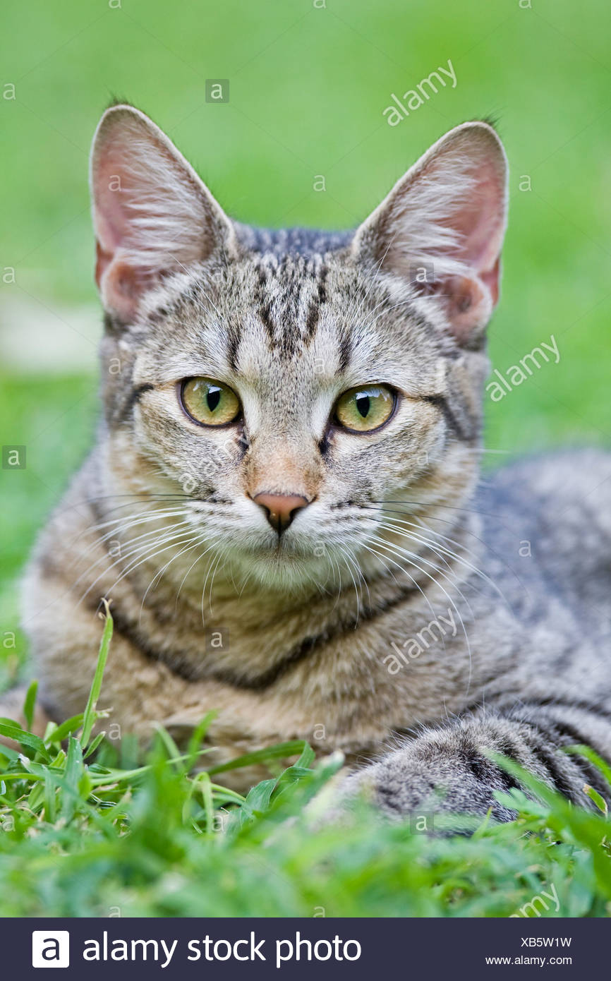 Africa, Sambia, Cat lying in meadow, portrait - Stock Image