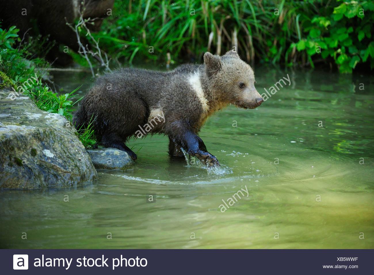 Brown Bear (Ursus arctos) cub, 4 months, walking through water, Langenberg Zoo, Adliswil, Canton of Zurich, Switzerland - Stock Image