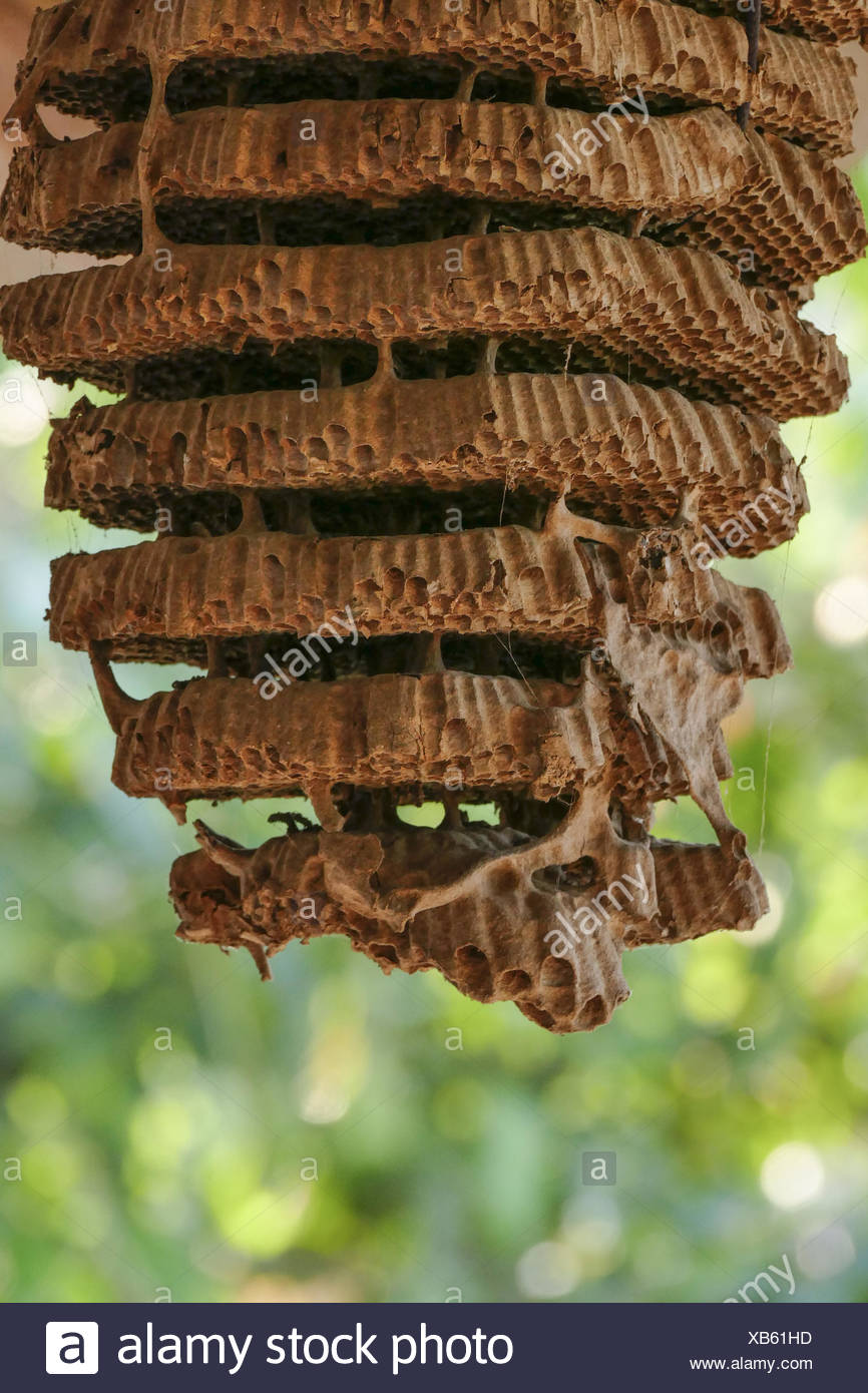honeycombs of wild bees - Stock Image