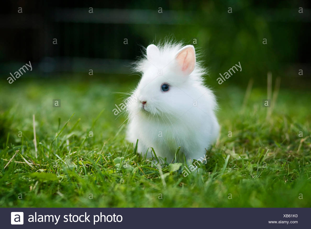 White Lionhead rabbit, young in a meadow Stock Photo