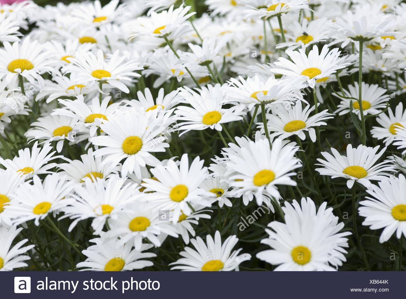 Margin rite meadow, blossoms, medium close-up, - Stock Image