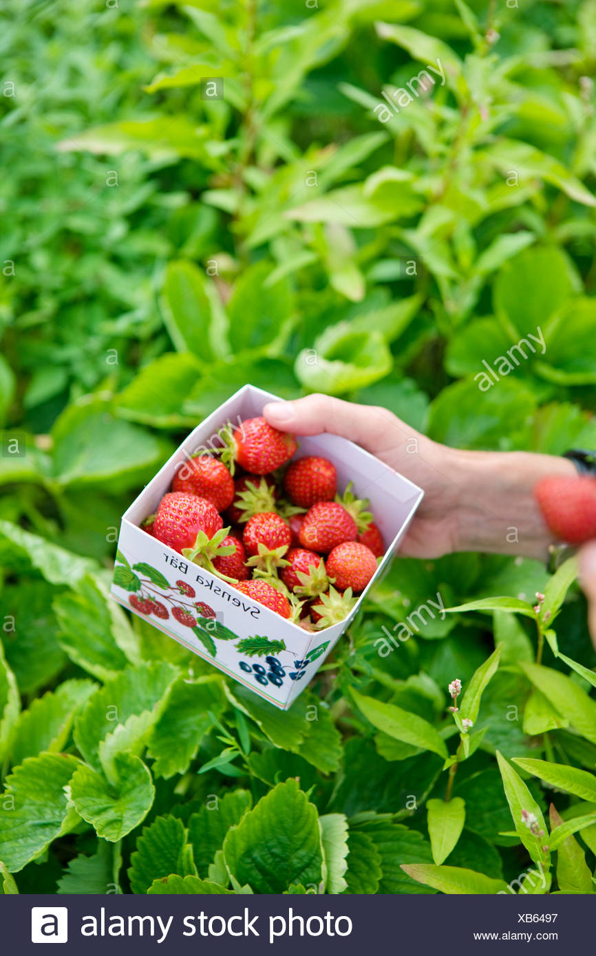 Box with fresh strawberries - Stock Image