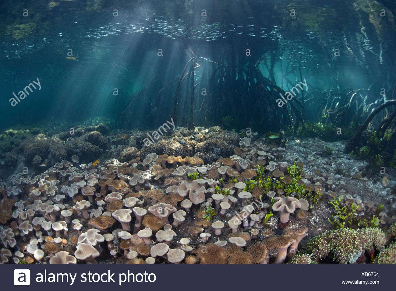 Ecosystem Mangroves, Rhizophora sp., Raja Ampat, West Papua, Indonesia - Stock Image