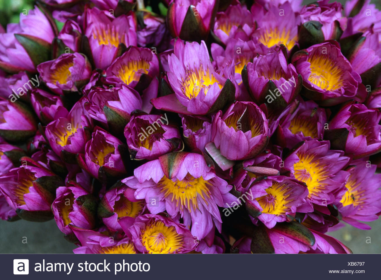 Lotus blossoms as oblation, offering at the Sri Dalada Maligawa, The Temple of the Tooth in Kandy, Sri Lanka, Asia - Stock Image