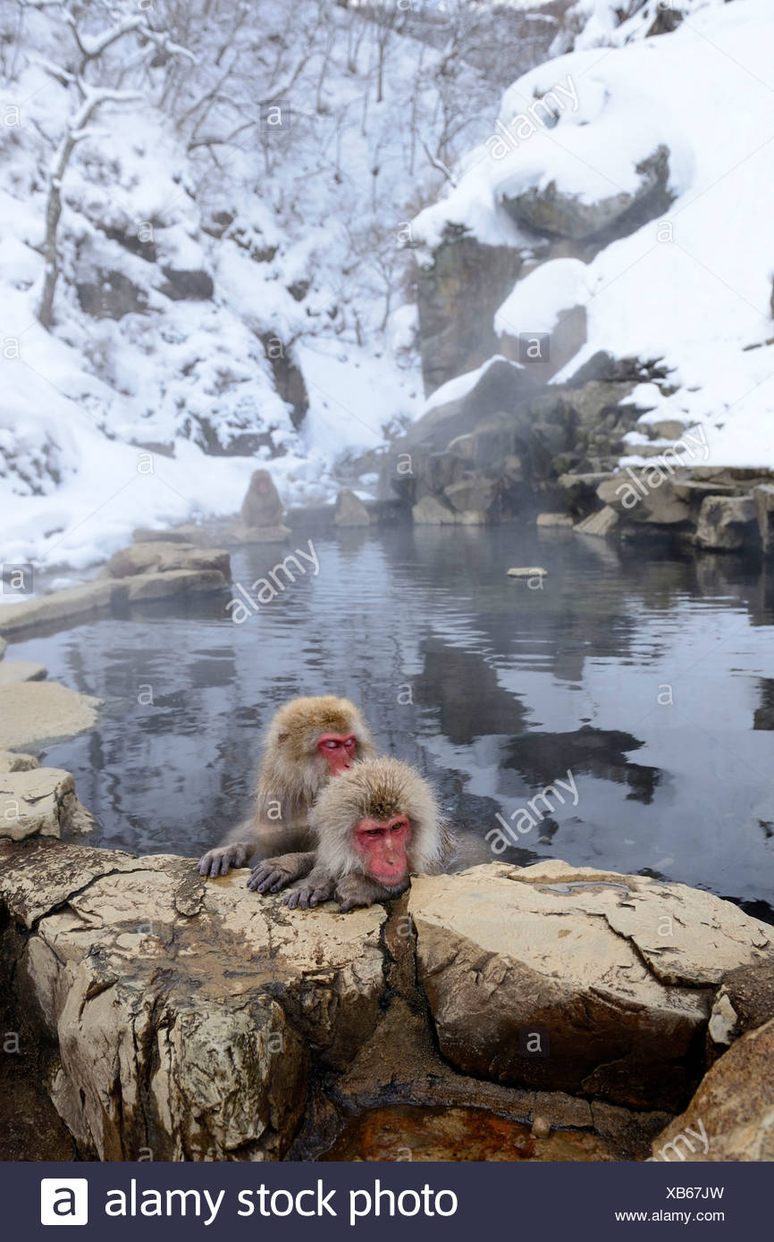 Japanese Macaques or Snow Monkeys (Macaca fuscata), taking a bath in ...