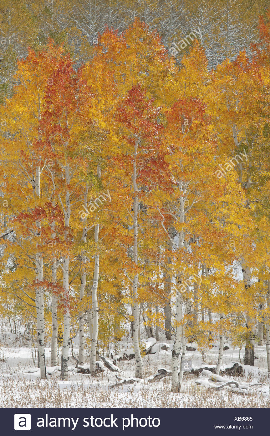 A forest of quaking aspen trees with autumn foliage colours in the snow in Wasatch national forest - Stock Image