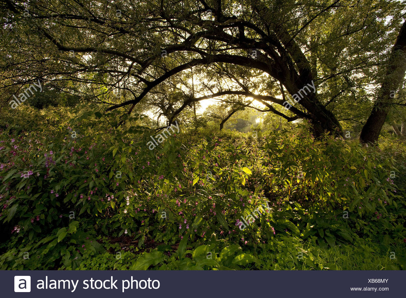 Himalayan balsam, Indian balsam, red jewelweed, ornamental jewelweed, policeman's helmet (Impatiens glandulifera), sunrise in Ruhr valley, Germany, North Rhine-Westphalia, Ruhr Area, Wetter/Ruhr - Stock Image